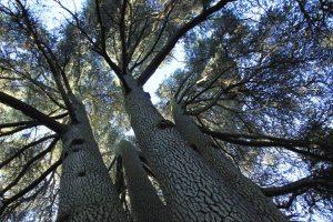 © Tiziano Fratus – Cime del grande cedro monumentale - Parco della Villa Reale di Monza